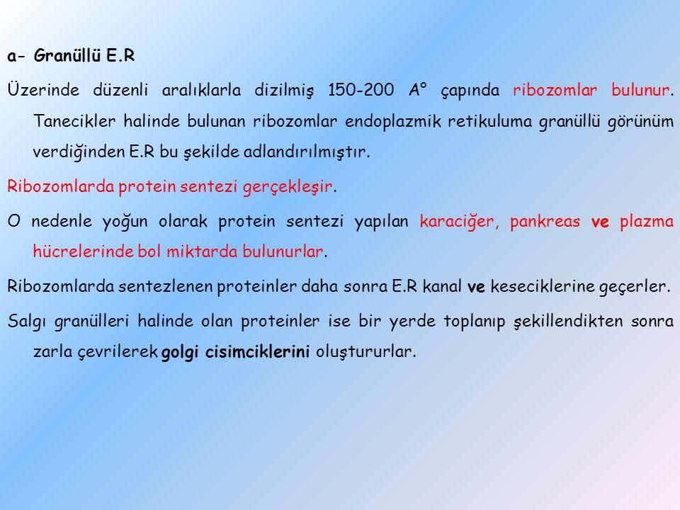 a- Granüllü E.R Üzerinde düzenli aralıklarla dizilmiş 150-200 A° çapında ribozomlar bulunur.