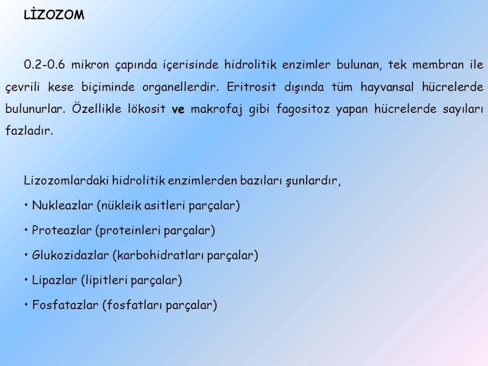 LİZOZOM 0.2-0.6 mikron çapında içerisinde hidrolitik enzimler bulunan, tek membran ile çevrili kese biçiminde organellerdir.