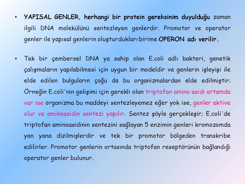 YAPISAL GENLER, herhangi bir protein gereksinim duyulduğu zaman ilgili DNA molekülünü sentezleyen genlerdir. Promotor ve operator genler ile yapısal genlerin oluşturdukları birime OPERON adı verilir.