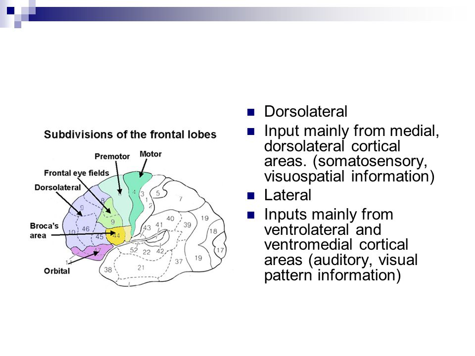 Dorsolateral Input mainly from medial, dorsolateral cortical areas. (somatosensory, visuospatial information)