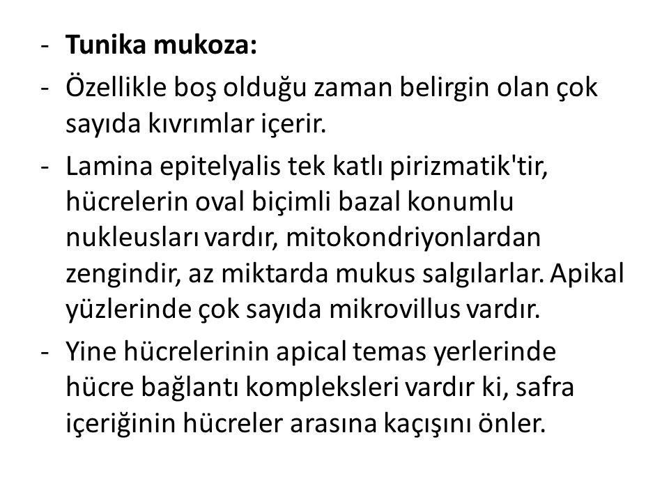 Tunika mukoza: Özellikle boş olduğu zaman belirgin olan çok sayıda kıvrımlar içerir.