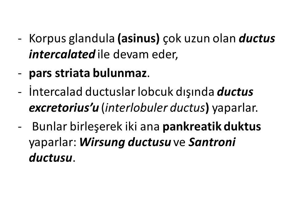 Korpus glandula (asinus) çok uzun olan ductus intercalated ile devam eder,