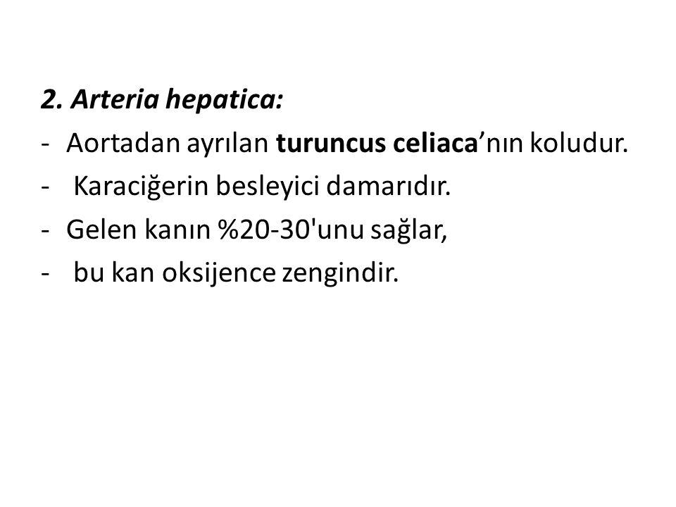 2. Arteria hepatica: Aortadan ayrılan turuncus celiaca'nın koludur. Karaciğerin besleyici damarıdır.
