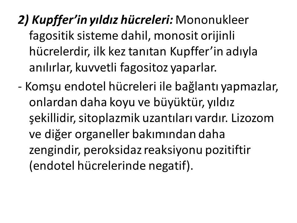 2) Kupffer'in yıldız hücreleri: Mononukleer fagositik sisteme dahil, monosit orijinli hücrelerdir, ilk kez tanıtan Kupffer'in adıyla anılırlar, kuvvetli fagositoz yaparlar.