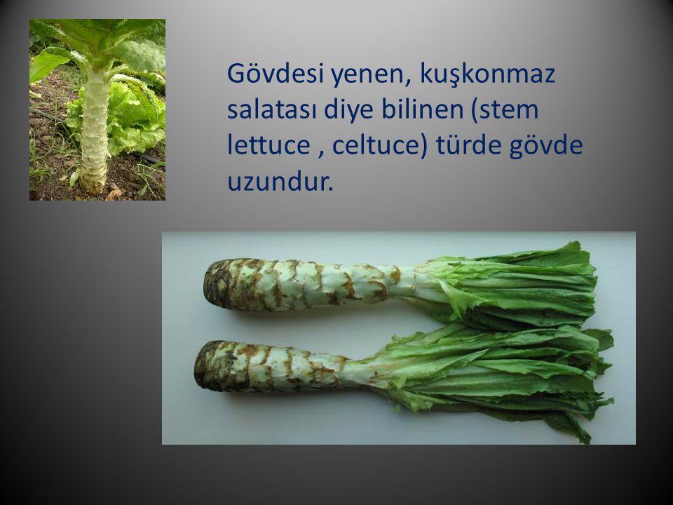 Gövdesi yenen, kuşkonmaz salatası diye bilinen (stem lettuce , celtuce) türde gövde uzundur.