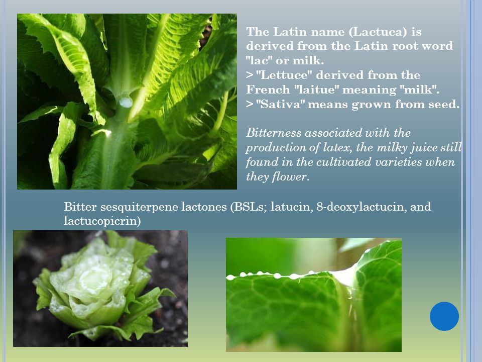 The Latin name (Lactuca) is derived from the Latin root word lac or milk. > Lettuce derived from the French laitue meaning milk . > Sativa means grown from seed. Bitterness associated with the production of latex, the milky juice still found in the cultivated varieties when they flower.