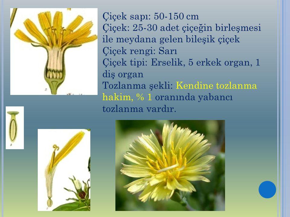 Çiçek sapı: 50-150 cm Çiçek: 25-30 adet çiçeğin birleşmesi ile meydana gelen bileşik çiçek. Çiçek rengi: Sarı.