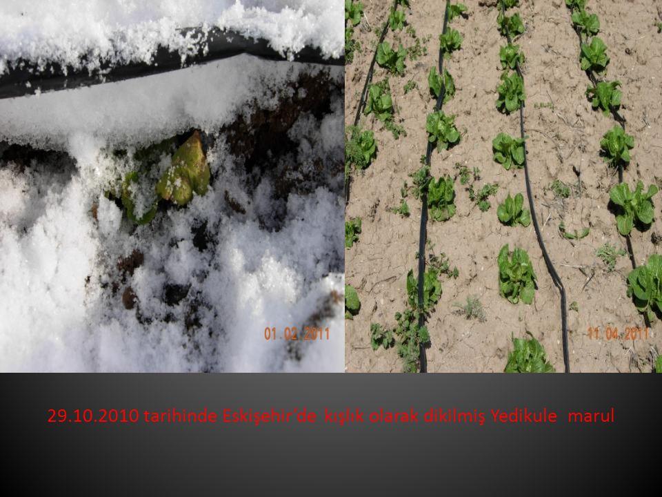 29.10.2010 tarihinde Eskişehir'de kışlık olarak dikilmiş Yedikule marul