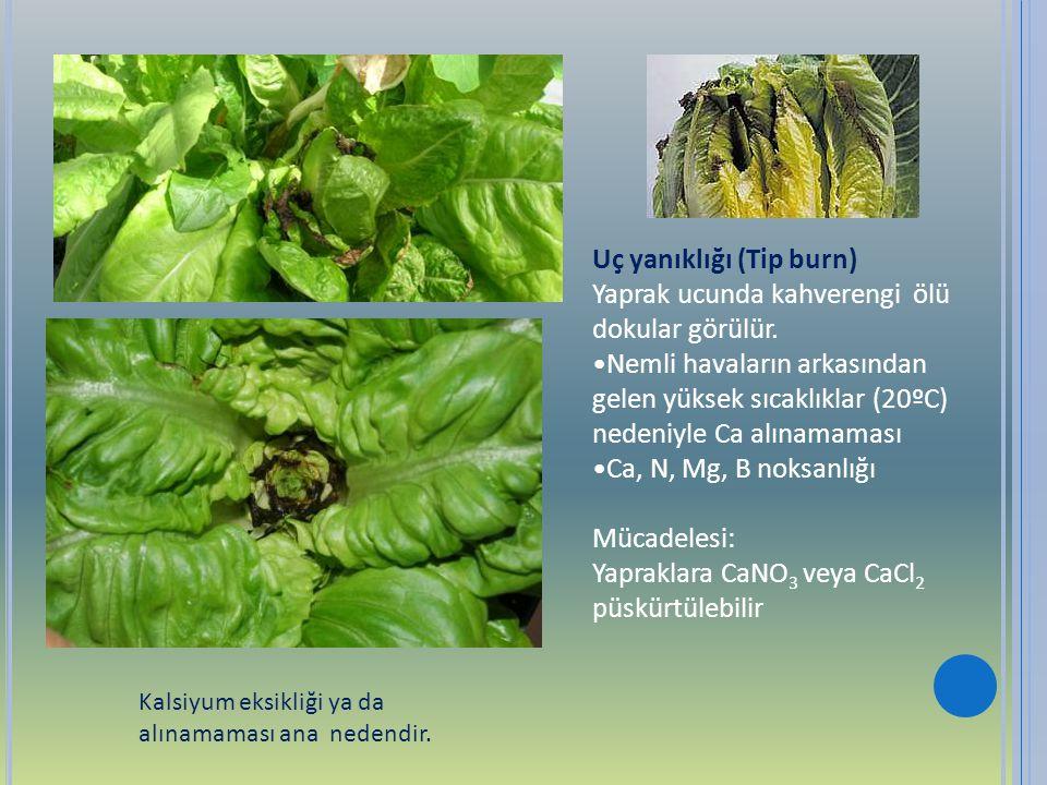 Uç yanıklığı (Tip burn) Yaprak ucunda kahverengi ölü dokular görülür.