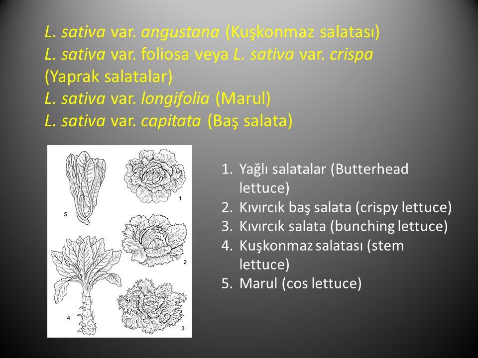 L. sativa var. angustana (Kuşkonmaz salatası)
