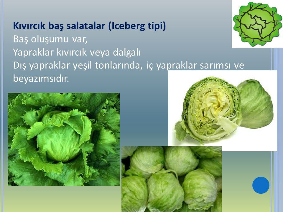 Kıvırcık baş salatalar (Iceberg tipi)