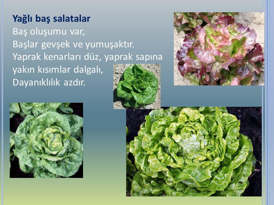Yağlı baş salatalar Baş oluşumu var, Başlar gevşek ve yumuşaktır. Yaprak kenarları düz, yaprak sapına.