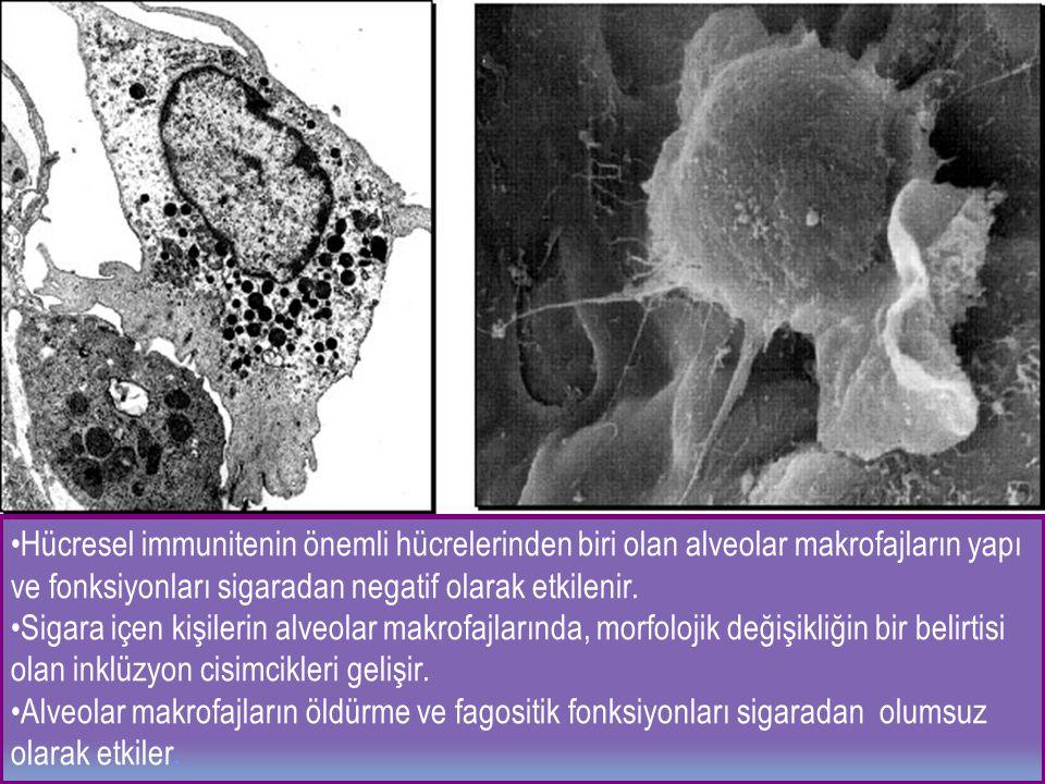 Hücresel immunitenin önemli hücrelerinden biri olan alveolar makrofajların yapı ve fonksiyonları sigaradan negatif olarak etkilenir.