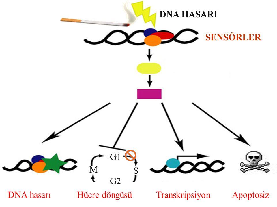 DNA hasarı Hücre döngüsü Transkripsiyon Apoptosiz