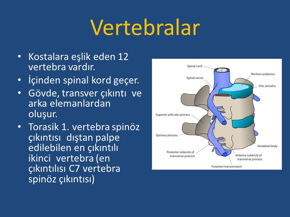 Vertebralar Kostalara eşlik eden 12 vertebra vardır.