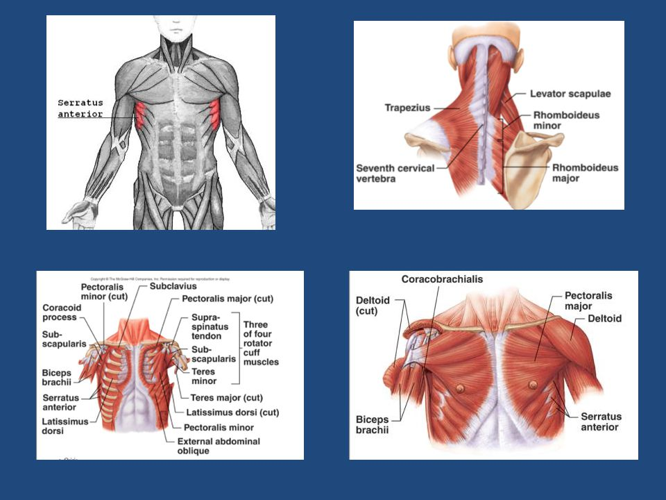 The serratus anterior is a muscle that originates on the surface of the upper eight ribs at the side of the chest and inserts along the entire anterior length of the medial border of the scapula.