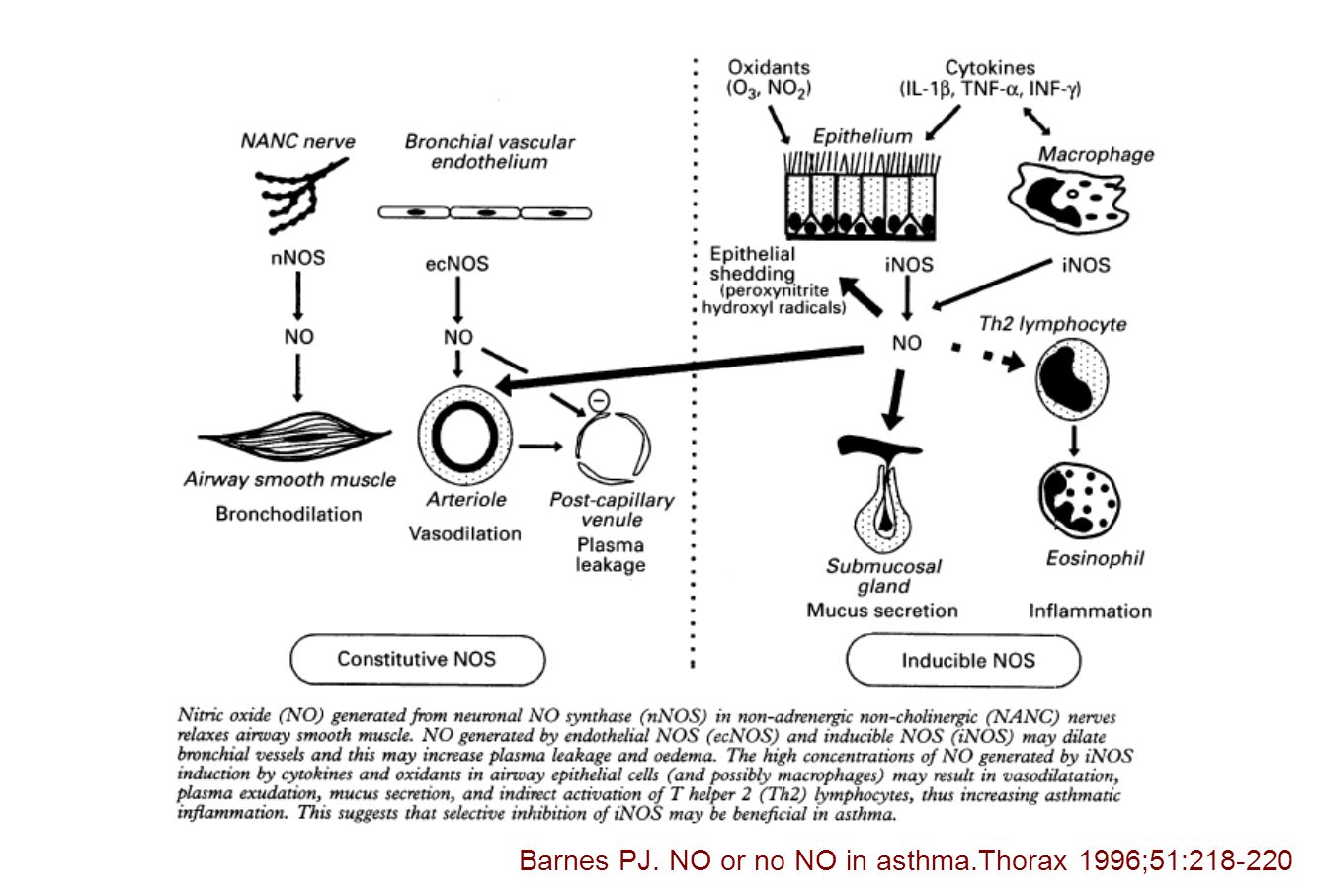 Barnes PJ. NO or no NO in asthma.Thorax 1996;51:218-220