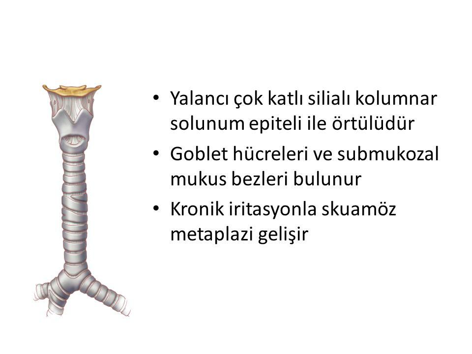 Yalancı çok katlı silialı kolumnar solunum epiteli ile örtülüdür