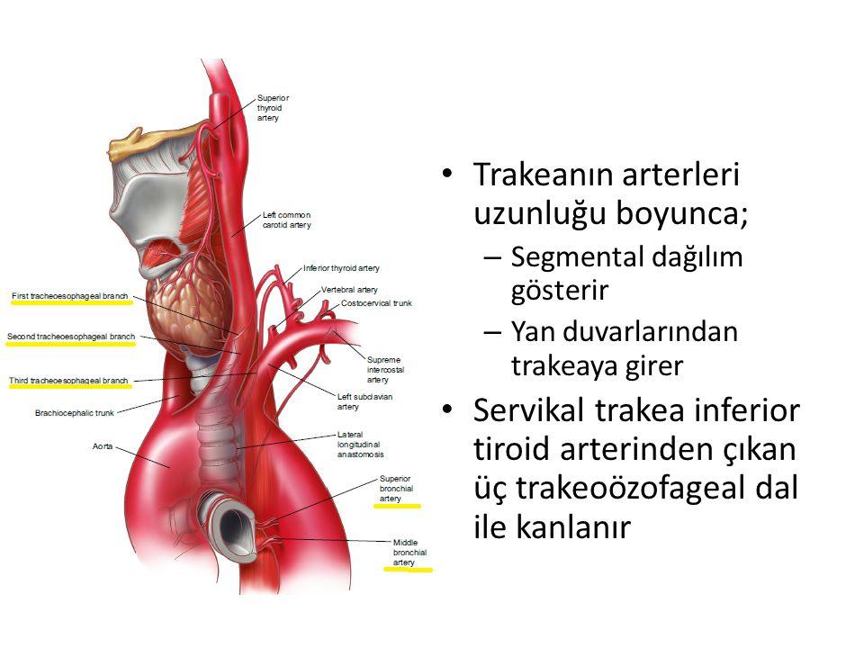 Trakeanın arterleri uzunluğu boyunca;
