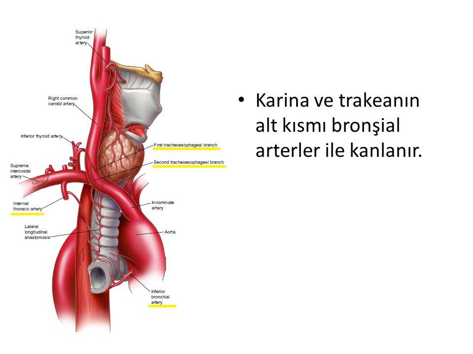 Karina ve trakeanın alt kısmı bronşial arterler ile kanlanır.