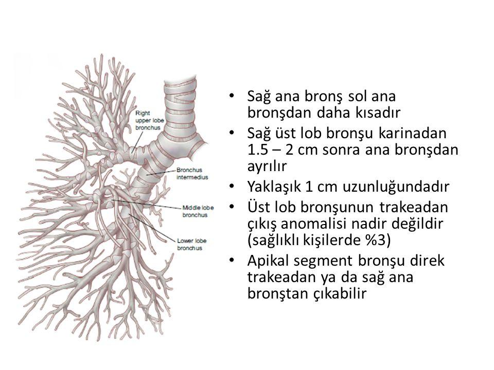 Sağ ana bronş sol ana bronşdan daha kısadır