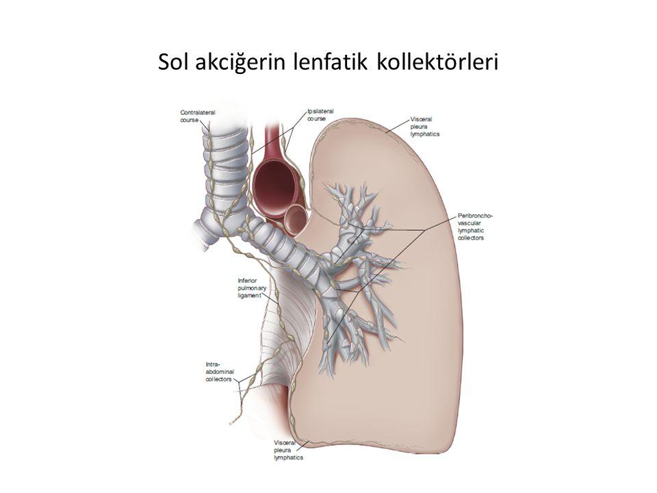 Sol akciğerin lenfatik kollektörleri