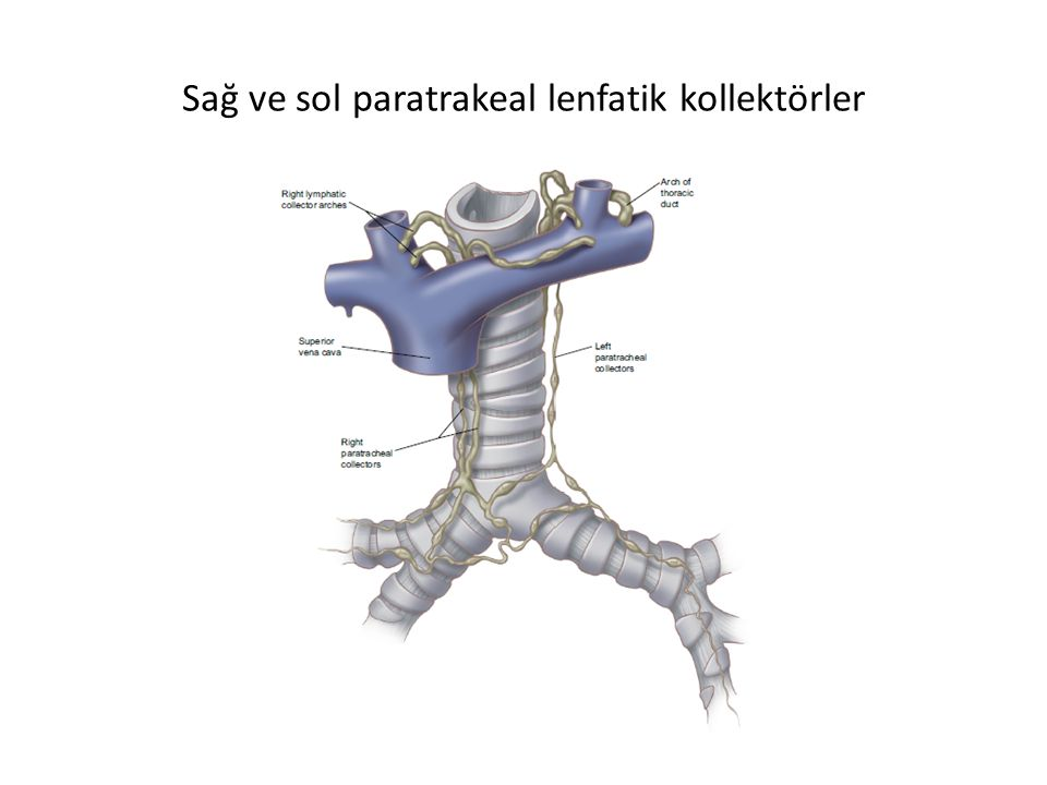 Sağ ve sol paratrakeal lenfatik kollektörler