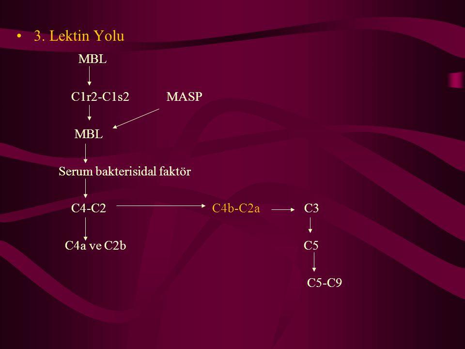 3. Lektin Yolu MBL C1r2-C1s2 MASP Serum bakterisidal faktör