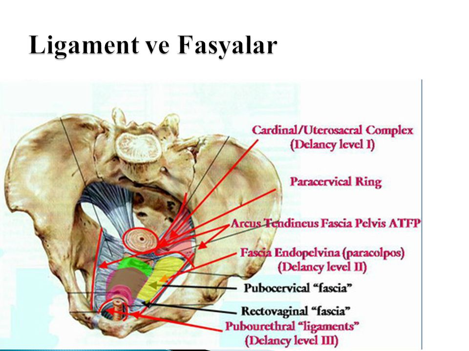 Ligament ve Fasyalar