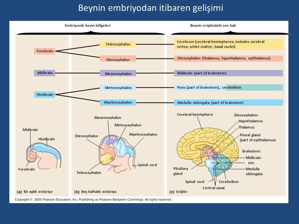 Embriyonik beyin bölgeleri