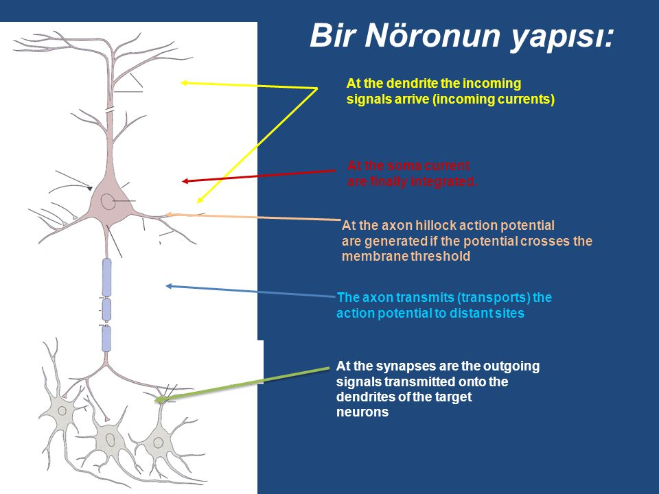 Bir Nöronun yapısı: At the dendrite the incoming