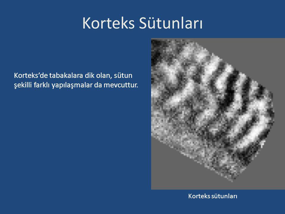 Korteks Sütunları Korteks'de tabakalara dik olan, sütun şekilli farklı yapılaşmalar da mevcuttur.