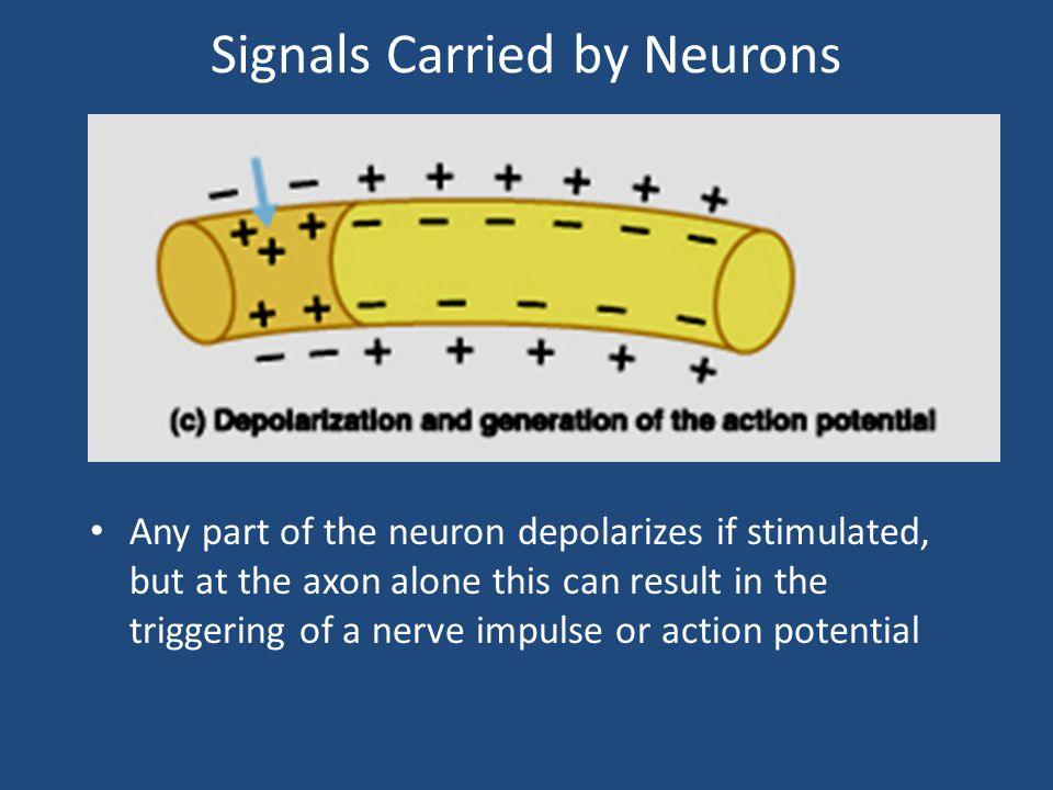 Signals Carried by Neurons