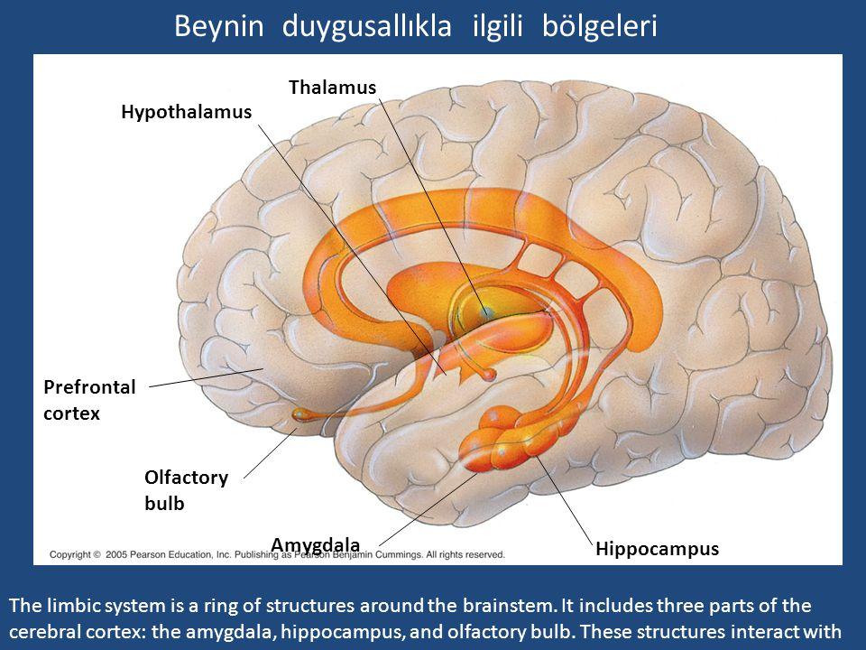 Beynin duygusallıkla ilgili bölgeleri