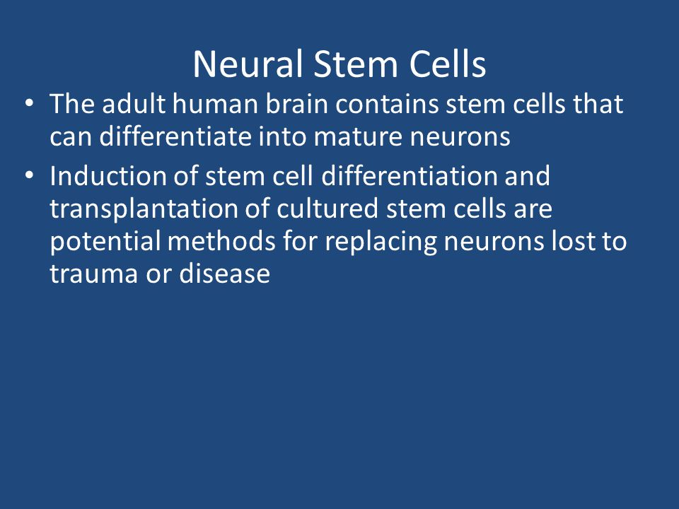 Neural Stem Cells The adult human brain contains stem cells that can differentiate into mature neurons.