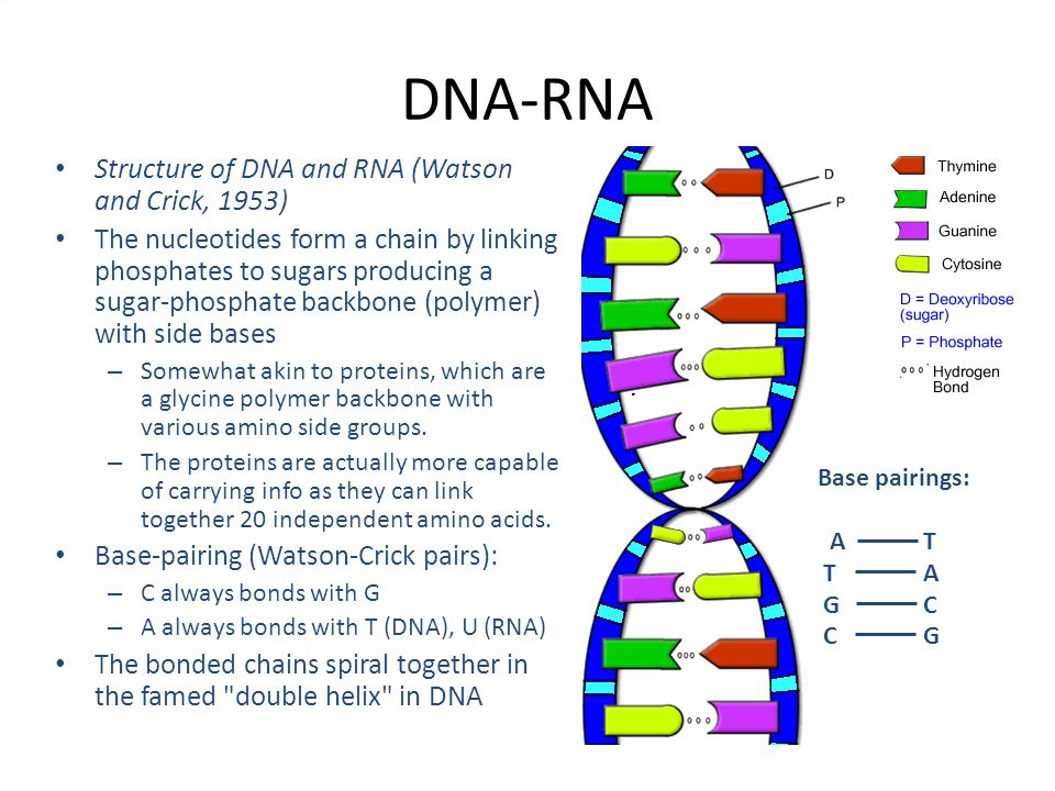 DNA-RNA Structure of DNA and RNA (Watson and Crick, 1953)