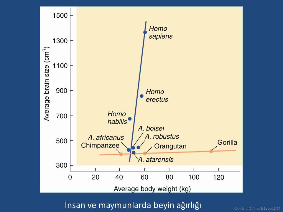 İnsan ve maymunlarda beyin ağırlığı