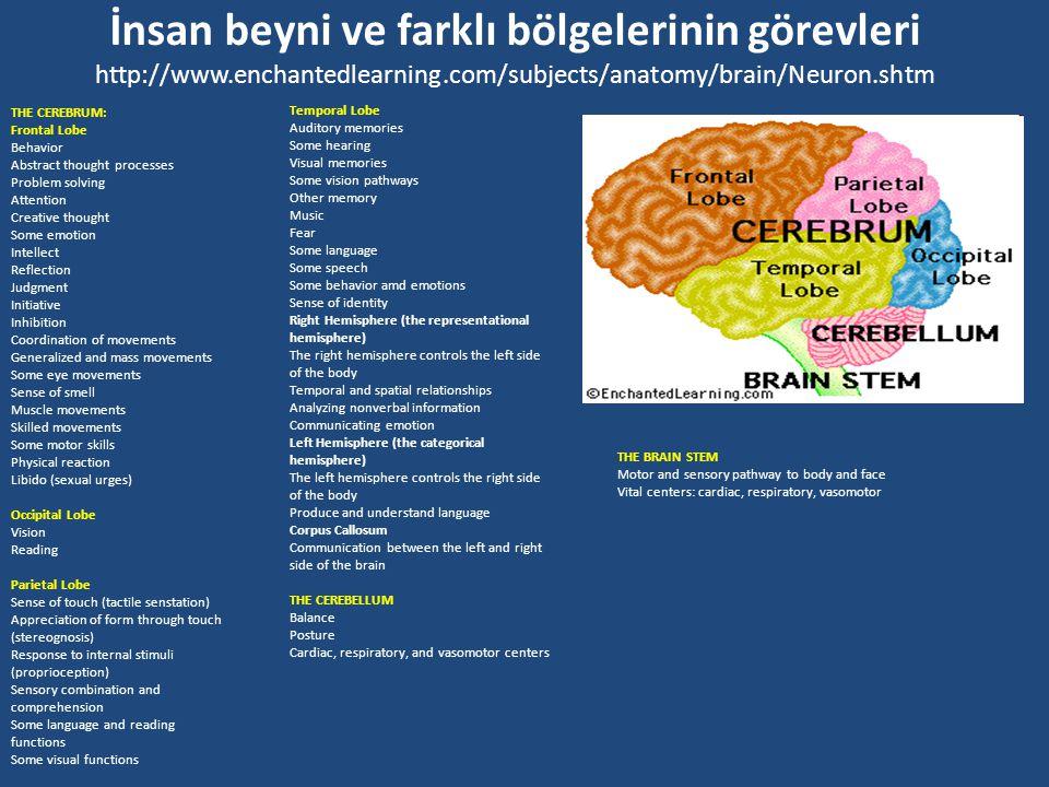 İnsan beyni ve farklı bölgelerinin görevleri http://www