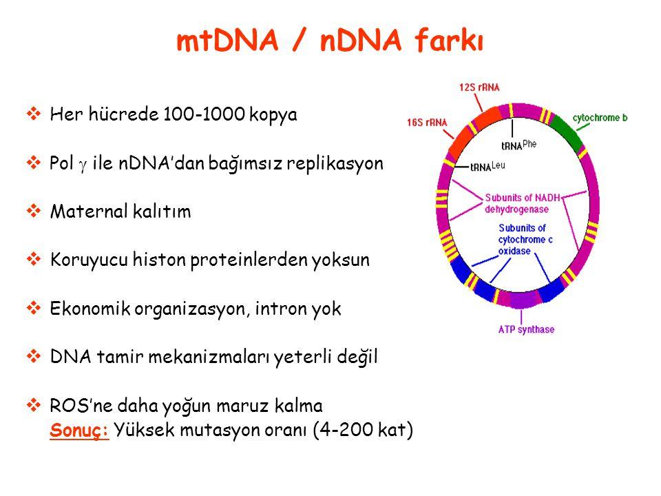 mtDNA / nDNA farkı Her hücrede 100-1000 kopya
