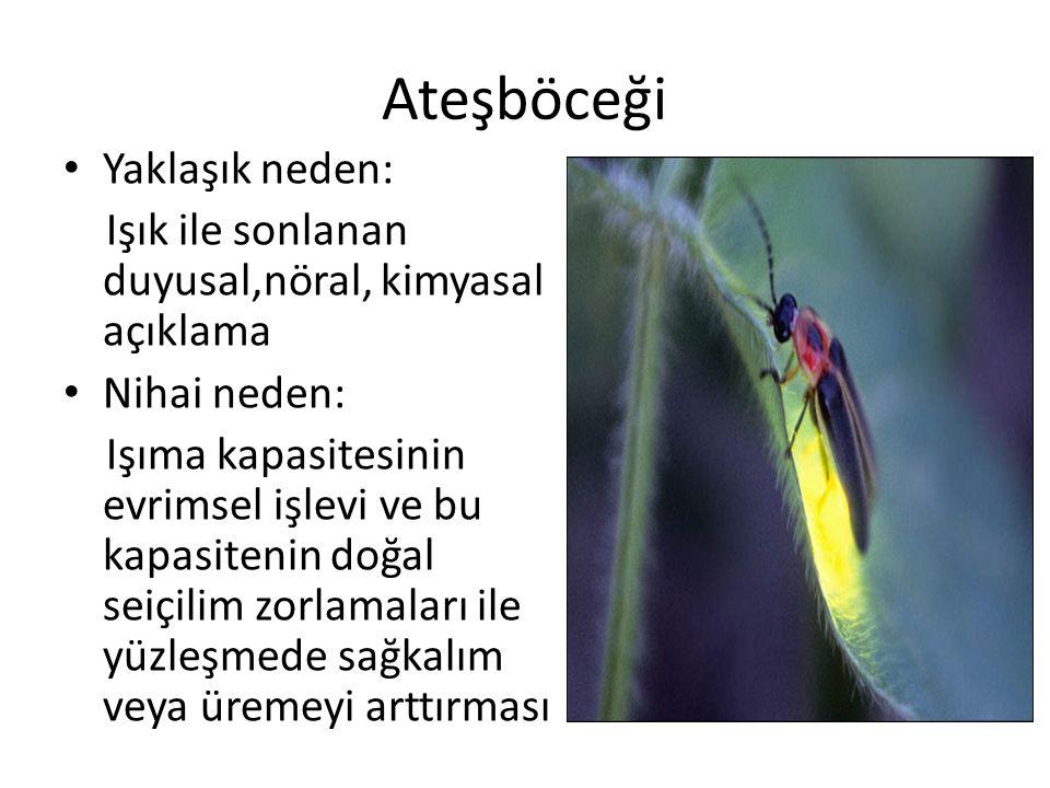 Ateşböceği Yaklaşık neden: