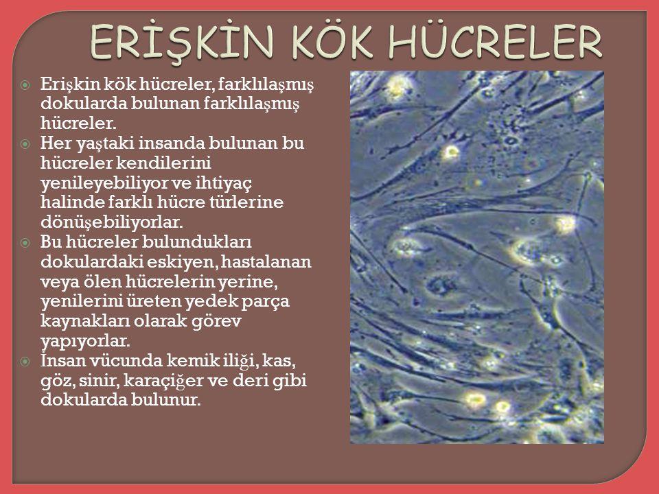 ERİŞKİN KÖK HÜCRELER Erişkin kök hücreler, farklılaşmış dokularda bulunan farklılaşmış hücreler.