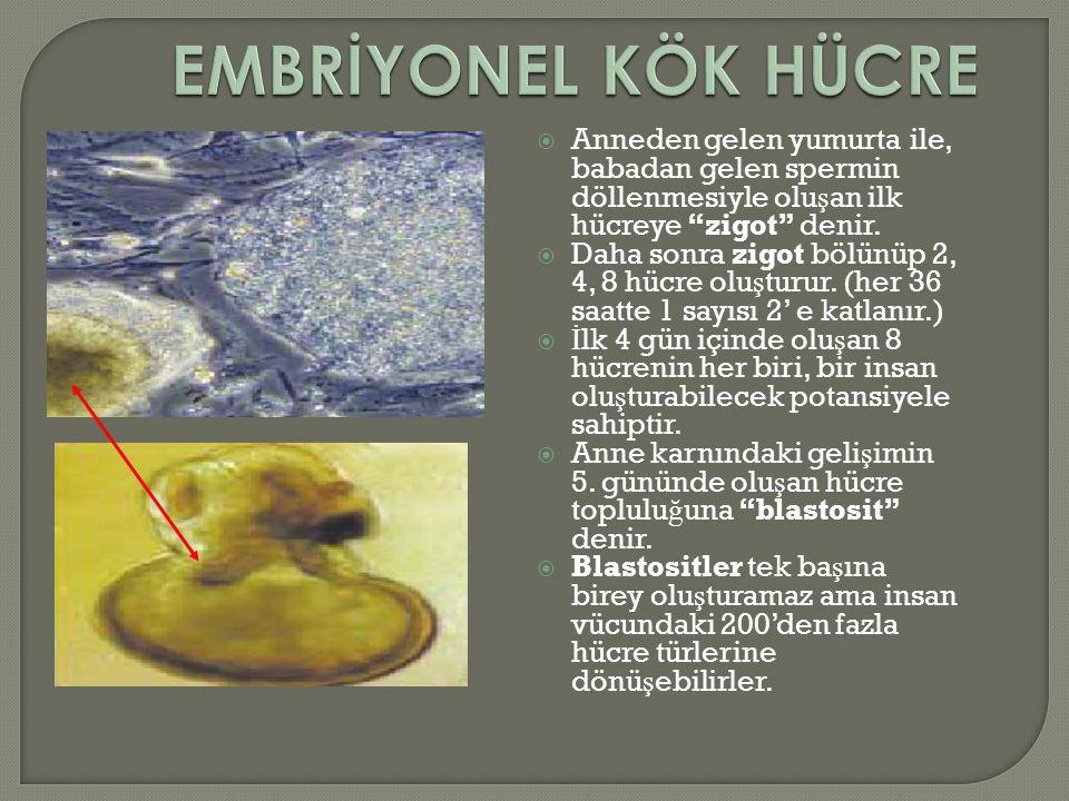EMBRİYONEL KÖK HÜCRE Anneden gelen yumurta ile, babadan gelen spermin döllenmesiyle oluşan ilk hücreye zigot denir.