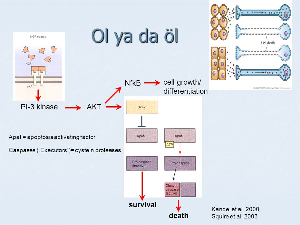 Ol ya da öl NfkB cell growth/ differentiation PI-3 kinase AKT survival