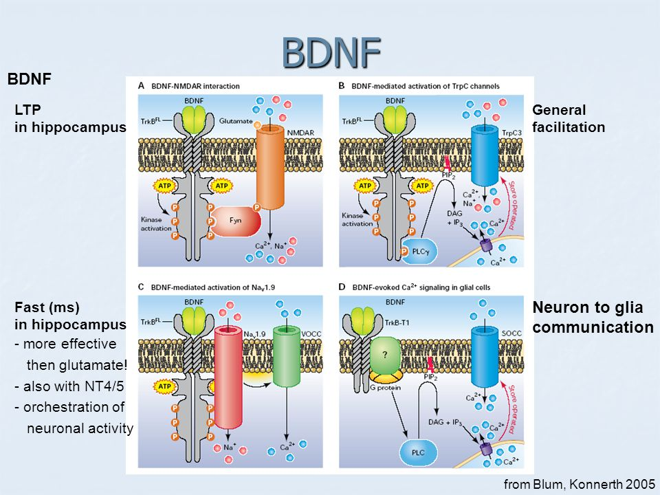 BDNF BDNF Neuron to glia communication LTP in hippocampus General