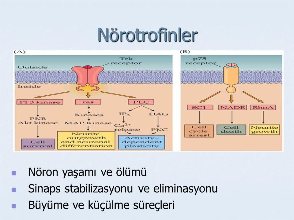 Nörotrofinler Nöron yaşamı ve ölümü