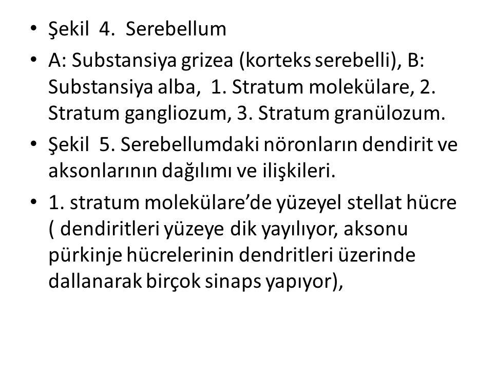 Şekil 4. Serebellum
