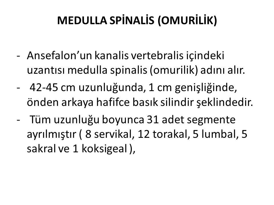MEDULLA SPİNALİS (OMURİLİK)