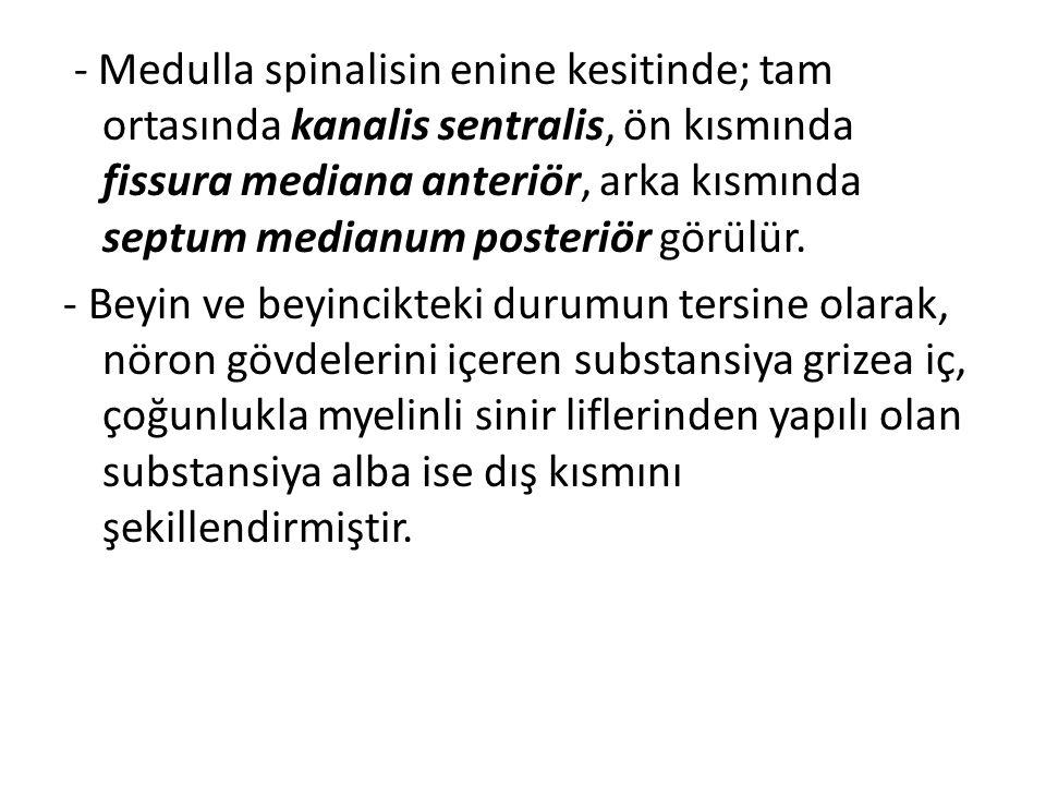 - Medulla spinalisin enine kesitinde; tam ortasında kanalis sentralis, ön kısmında fissura mediana anteriör, arka kısmında septum medianum posteriör görülür.
