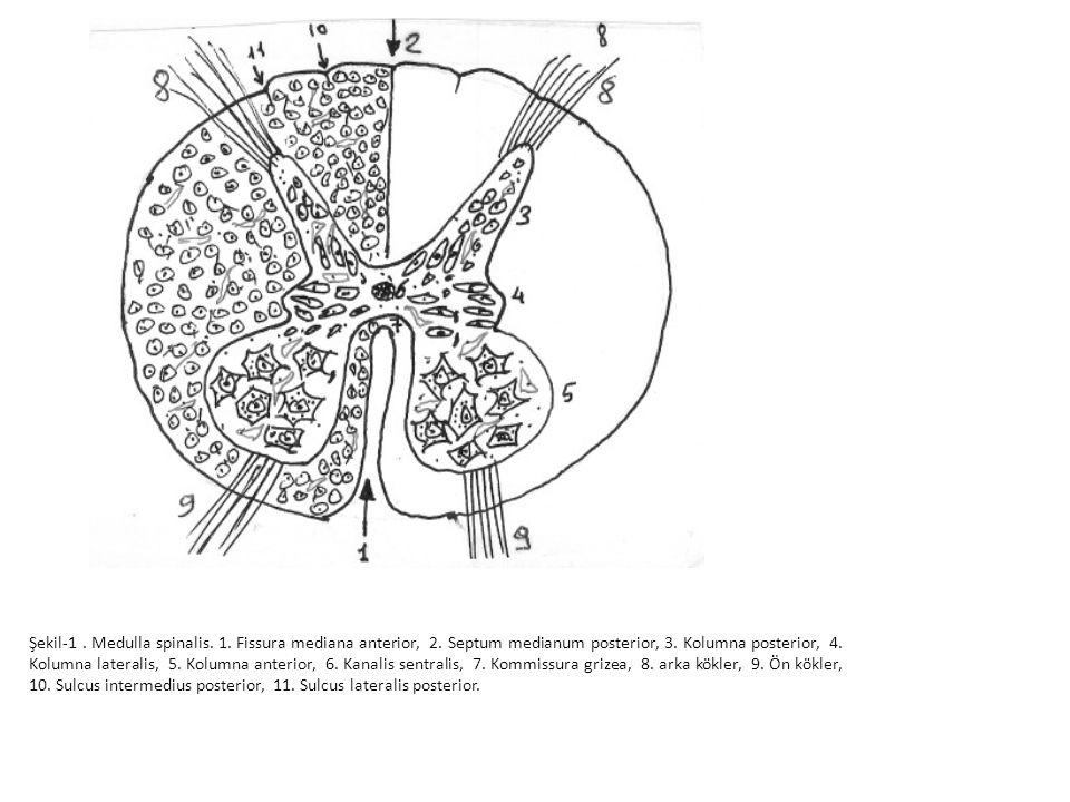 Şekil-1. Medulla spinalis. 1. Fissura mediana anterior, 2
