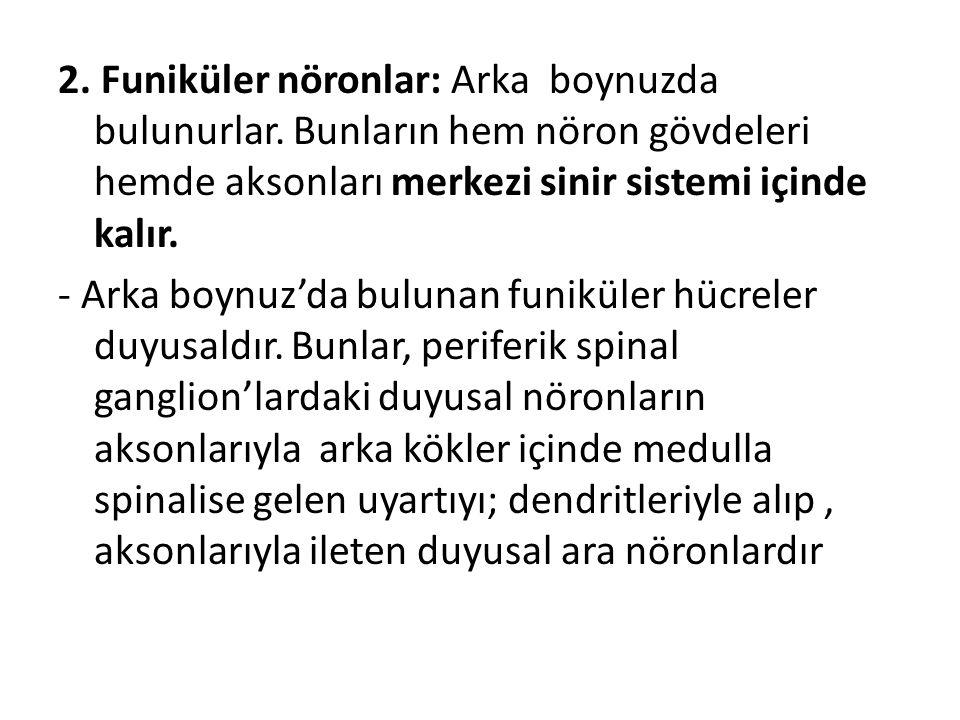 2. Funiküler nöronlar: Arka boynuzda bulunurlar